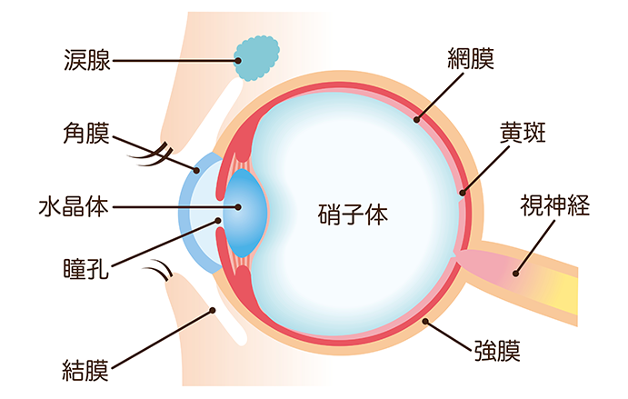 眼の基礎知識とキーワード